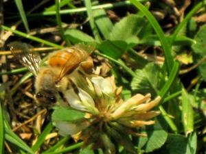 Blonde bumblebee