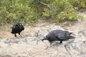 1 crow IMG_6951