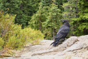 2 crow IMG_6966 2